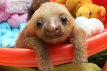 Baby Sloth image on Bournefree Live news website