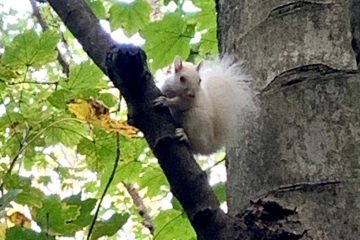 Rare albino squirrel spotted in South Downs National Park in Friston Forest on Bournefree website
