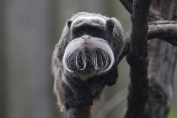 Monkey Moustaches provide Movember Motivation at Drusillas on Bournefree website