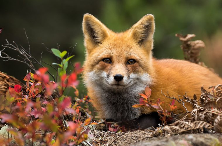 Fox 'tried to get boy, aged 2' in frightening experience on eastbourne Bournefree website, it happened in Pevensey Bay