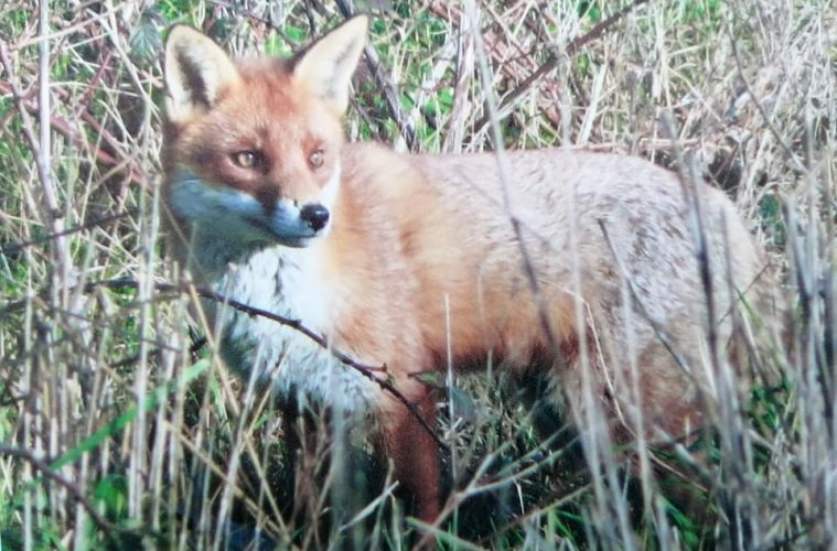 Pauline donates £210 to Eastbourne RNLI with this lovely fox picture at Beachlands, Pevensey Bay, on Eastbourne Bournefreee website