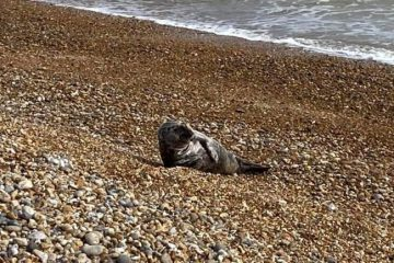 Seal spotted at beaches around Pevensey Bay on Eastbourne Bournefree website