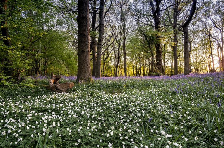 Popular Arlington Bluebell Walk is going ahead - and it starts on Monday on Eastbourne Bournefree website