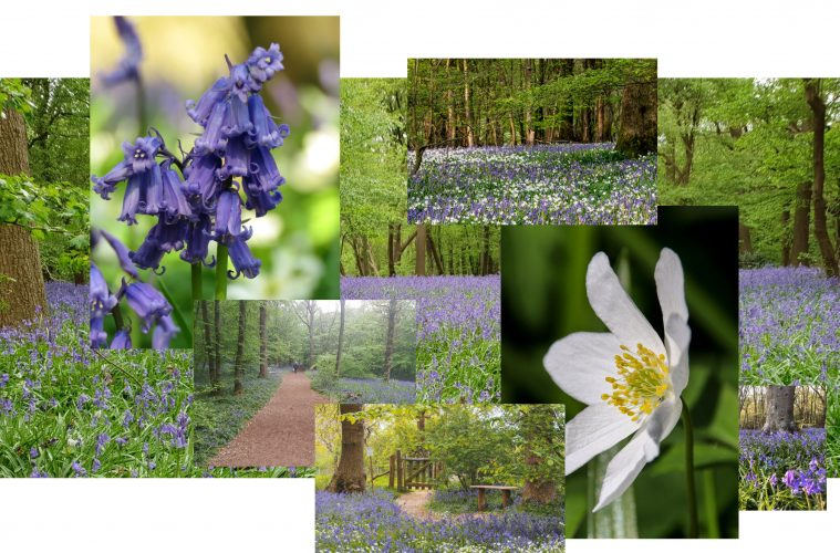 The Bluebell Walk is returning for 2021 on Eastbourne Bournefree website