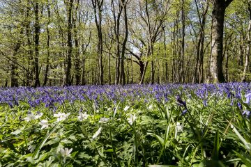 Eastbourne's Ignite PRE wins contract to promote the amazing Arlington Bluebell Walk for 2021 on Eastbourne Bournefree website