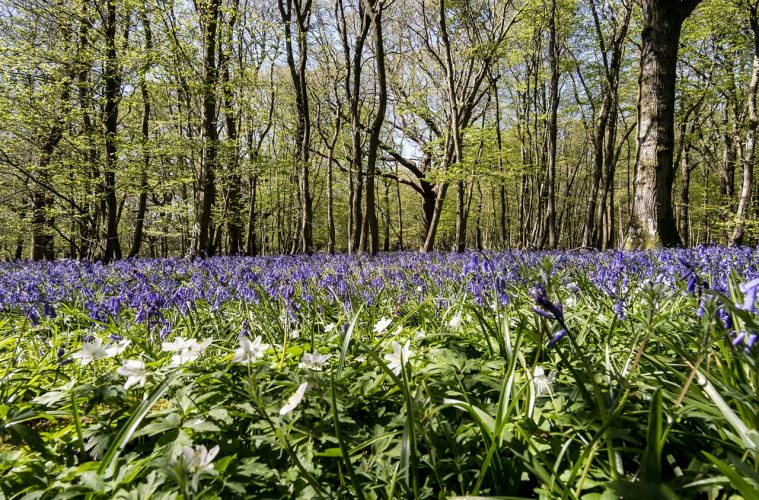 Watch this video of the amazing Arlington Bluebell Walk 2021 on Eastbourne Bournefree website