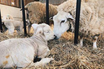 Sharnfold Farm at Stone Cross set for bumper summer on Eastbourne Bournefree website