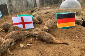 Three Meerkats Back Three Lions At Drusillas! on Eastbourne Bournefree website