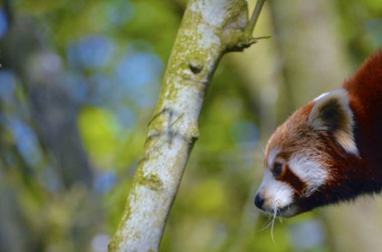 Drusillas Park launches an urgent appeal for bamboo donations for their red pandas! on Eastbourne Bournefree website