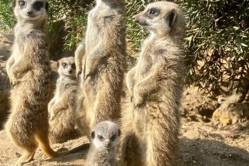 Mystic Meerkats At Drusillas Park Back England AGAIN and Sterling and Kane become zoo residents! on Eastbourne Bournefree website