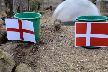 Mystic Meerkats at Drusillas predict England v Denmark Euro 2020 semi-final on Eastbourne Bournefree website