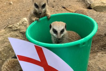 Mystic Meerkats at Drusillas Park Predict England v Italy Euro 2020 Final Result! on Eastbourne Bournefree website