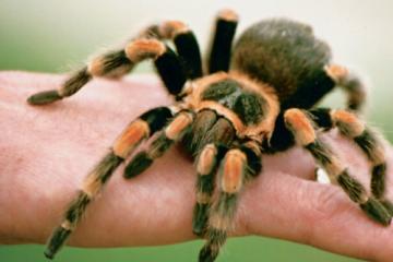Drusillas invites arachnophobes to tickle tarantulas this spider season on Eastbourne Bournefree website