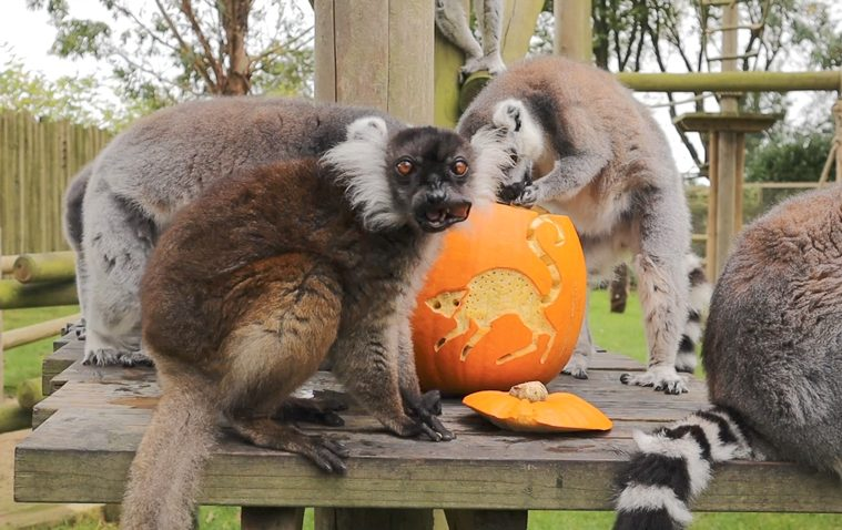 Life is Gourd for Animals Treated to Pumpkins at Drusillas on Eastbourne Bournefree website