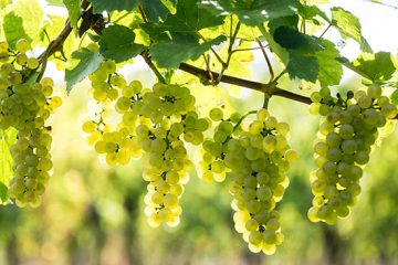 Amazing vineyard celebrates 50 years of growing and making wine in England on Eastbourne Bournefree website